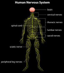 Illustration to show human nervous system, how nerves are connected and why hamstring stretches will aggravate sciatica, making them a sciatica exercise to avoid. Explain sciatica exercises