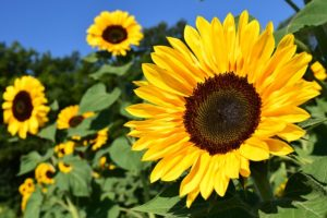 Sunflower and vegetable oils are some of the foods to avoid when you have sciatica